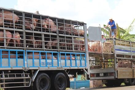 Trung Quốc giảm mua, giá lợn hơi rớt mạnh - 1