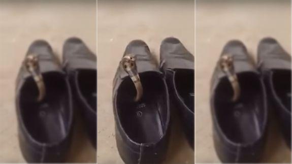 Video: Rắn hổ mang mò vào nhà chui vào nấp trong giày - 1