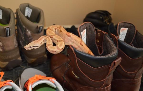 Kết quả hình ảnh cho Úc: Định xỏ giày vào đi thì hoảng hồn khi thấy rắn cực độc hau háu nấp bên trong