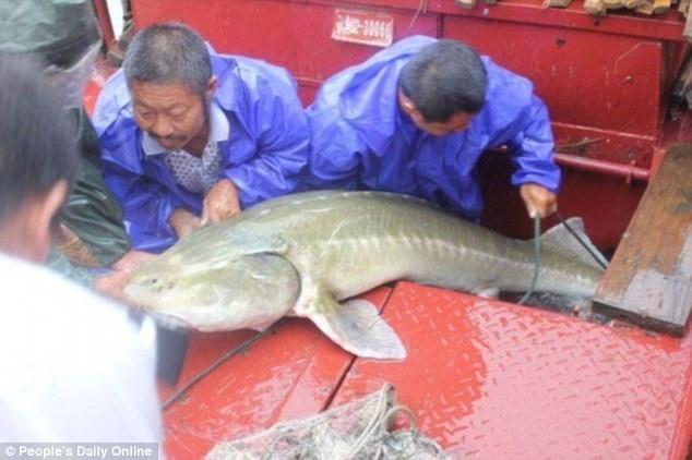 """TQ: Bắt được cá thuộc loài """"cùng thời với khủng long"""" - 1"""