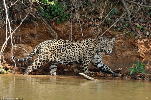 Cận cảnh báo gấm xuống sông hạ gục cá sấu ở Brazil - 2