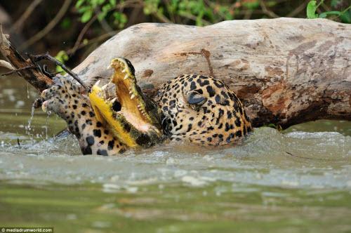 Cận cảnh báo gấm xuống sông hạ gục cá sấu ở Brazil - 4