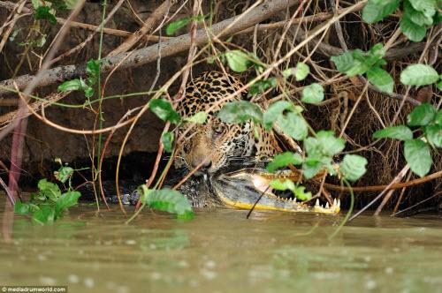 Cận cảnh báo gấm xuống sông hạ gục cá sấu ở Brazil - 5