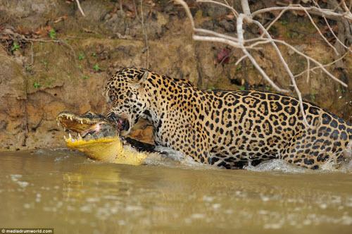 Cận cảnh báo gấm xuống sông hạ gục cá sấu ở Brazil - 6