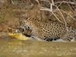 Cận cảnh báo gấm xuống sông hạ gục cá sấu ở Brazil