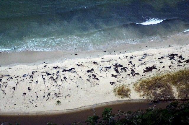 70 cá voi dạt bờ bí ẩn ở Chile - 1