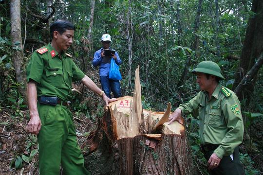 Quảng Nam báo cáo Thủ tướng vụ phá rừng pơ mu - 1