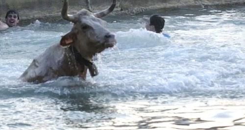Cạn lời: Chán đấu bò trên cạn, lôi bò xuống nước - 4