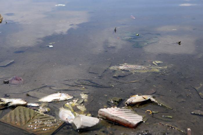 Hà Nội: Cá chết trắng hồ Ba Mẫu - 4