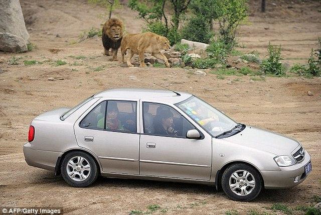 TQ: Bị hổ ăn thịt chỉ vì cãi nhau trên ô tô - 1