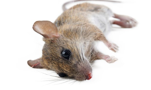 Quốc gia đầu tiên trên thế giới diệt sạch chuột? - 1