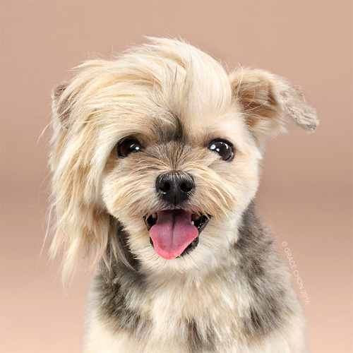 """Chó """"biến hình"""" sang chảnh khi thay đổi kiểu đầu - 2"""