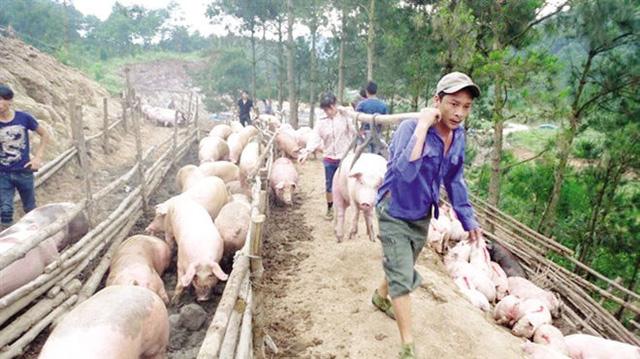 """Lợn hơi HN rớt giá: Người nuôi lao đao vì chạy theo """"sốt ảo"""" - 1"""