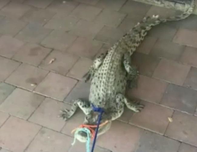 Úc: Tỉnh dậy thấy cá sấu chờ sẵn trong toilet - 2