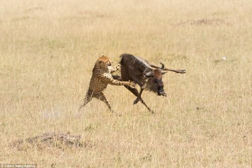 Ngoạn mục cảnh báo gấm tung đòn với linh dương đầu bò - 7