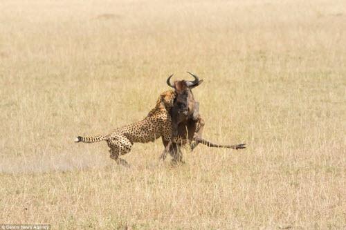 Ngoạn mục cảnh báo gấm tung đòn với linh dương đầu bò - 8