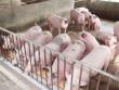 Giá lợn hơi rớt mạnh do Trung Quốc hạn chế nhập khẩu