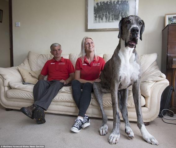 Ngắm chú chó cao nhất thế giới 2,1m - 1