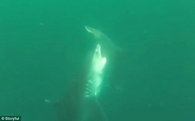 Video cá mập hổ tấn công điên cuồng cá mập đầu búa - 2