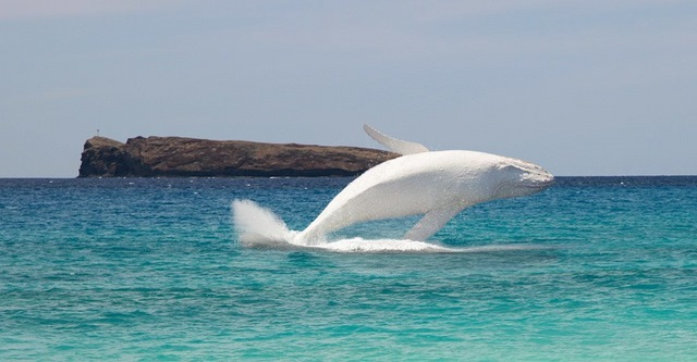 Cá voi trắng cực hiếm xuất hiện ở biển Australia - 3