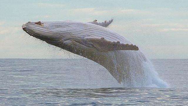 Cá voi trắng cực hiếm xuất hiện ở biển Australia - 4