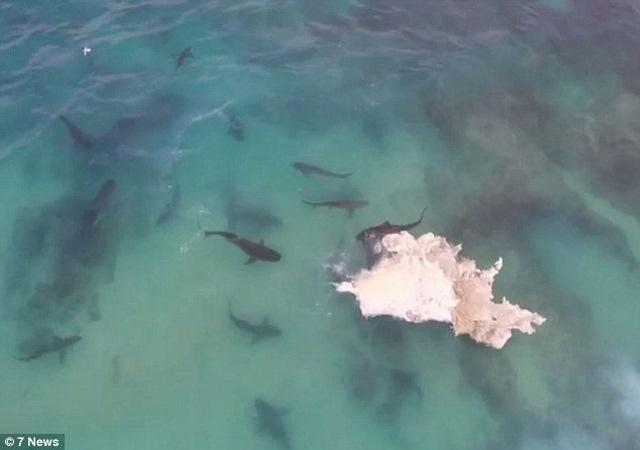 Video: 40 cá mập cắn xé xác cá voi khổng lồ - 1