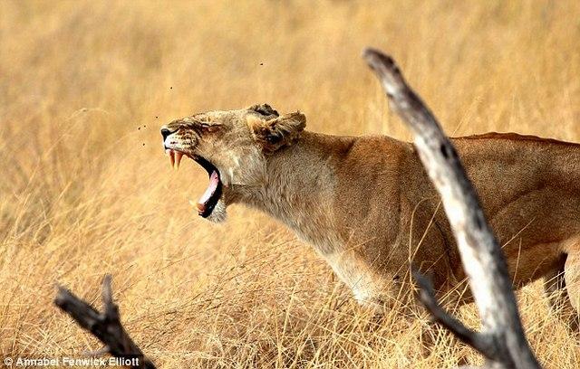 Làm sao để sống sót nếu bị rắn, sư tử, cá sấu tấn công? - 1