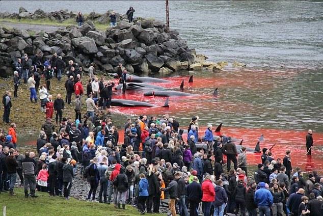 Thảm sát 120 cá voi ở Đan Mạch, cả vùng biển đỏ máu - 1