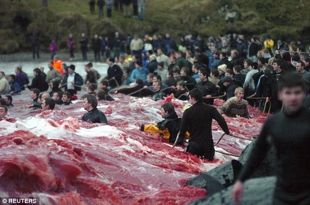 Thảm sát 120 cá voi ở Đan Mạch, cả vùng biển đỏ máu - 3