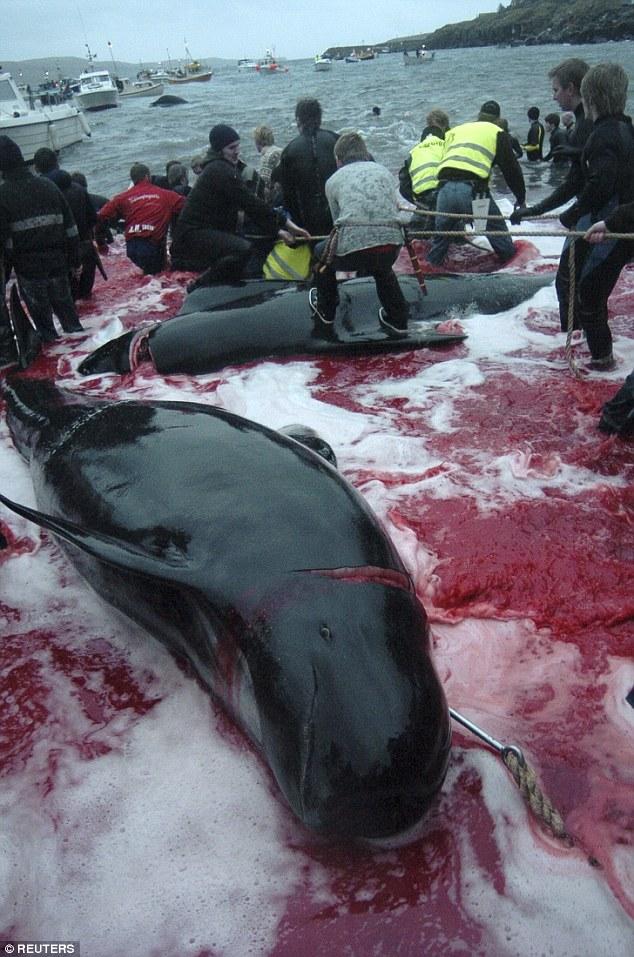 Thảm sát 120 cá voi ở Đan Mạch, cả vùng biển đỏ máu - 4