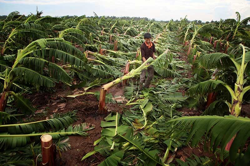 Nông dân bật khóc nhìn trăm hecta chuối đổ rạp sau bão - 2