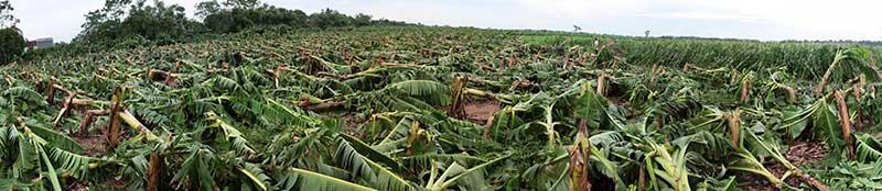 Nông dân bật khóc nhìn trăm hecta chuối đổ rạp sau bão - 1