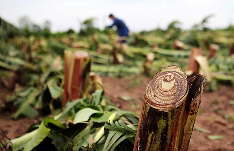 Nông dân bật khóc nhìn trăm hecta chuối đổ rạp sau bão - 6