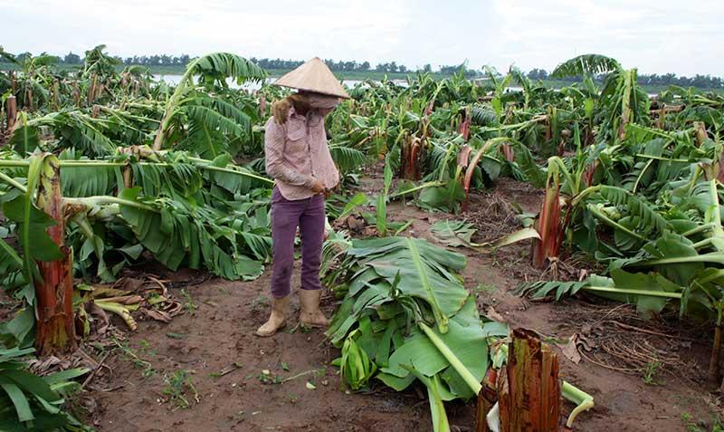 Nông dân bật khóc nhìn trăm hecta chuối đổ rạp sau bão - 4