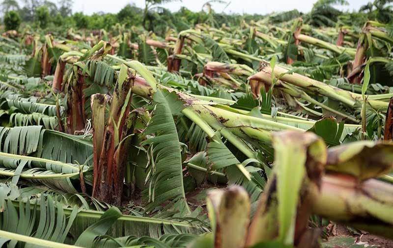 Nông dân bật khóc nhìn trăm hecta chuối đổ rạp sau bão - 8
