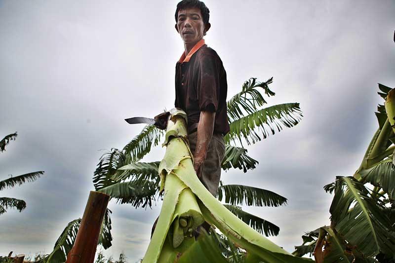 Nông dân bật khóc nhìn trăm hecta chuối đổ rạp sau bão - 3
