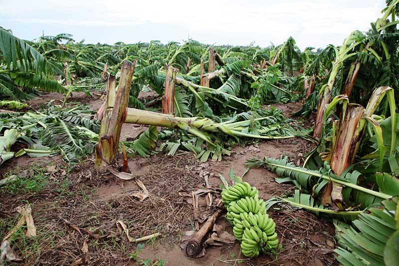 Nông dân bật khóc nhìn trăm hecta chuối đổ rạp sau bão - 9