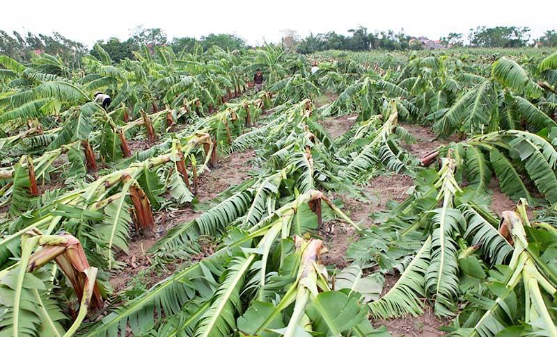 Nông dân bật khóc nhìn trăm hecta chuối đổ rạp sau bão - 10