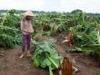 Nông dân bật khóc nhìn trăm hecta chuối đổ rạp sau bão