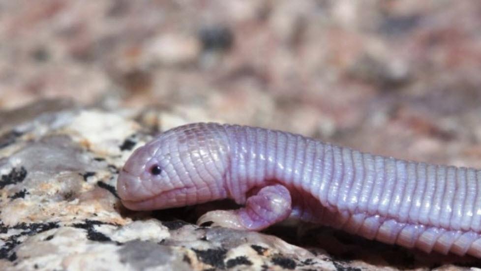 Sinh vật kì dị đầu thằn lằn mình chuột chũi - 2