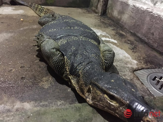 Bắt được kỳ đà dài 1,5m tại TP. Hồ Chí Minh - 1