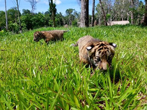 """4 """"F1"""" hổ quý Bengal chào đời tại Vinpearl Safari - 3"""