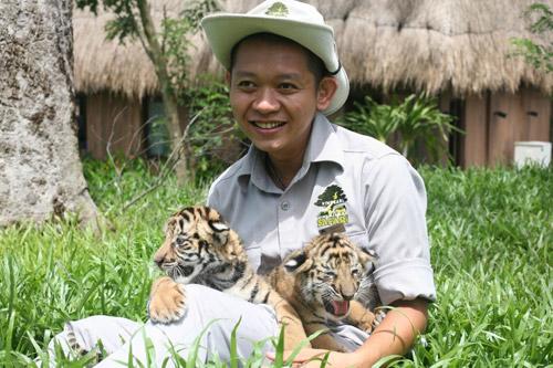 """4 """"F1"""" hổ quý Bengal chào đời tại Vinpearl Safari - 4"""