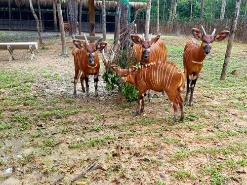 """4 """"F1"""" hổ quý Bengal chào đời tại Vinpearl Safari - 6"""