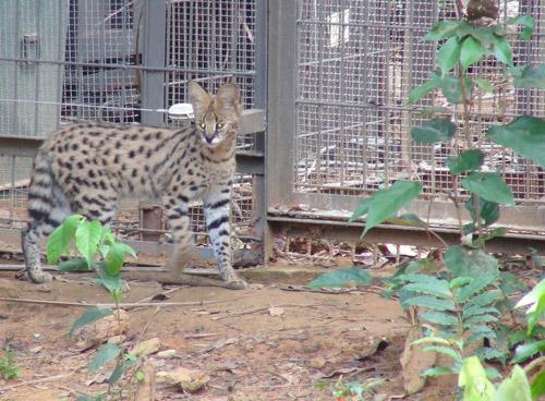 """4 """"F1"""" hổ quý Bengal chào đời tại Vinpearl Safari - 7"""