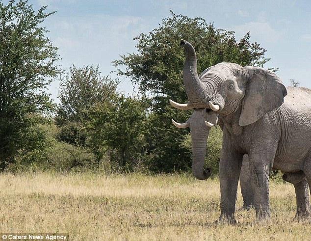 """Giật mình thấy """"voi 2 vòi"""" ở châu Phi - 1"""