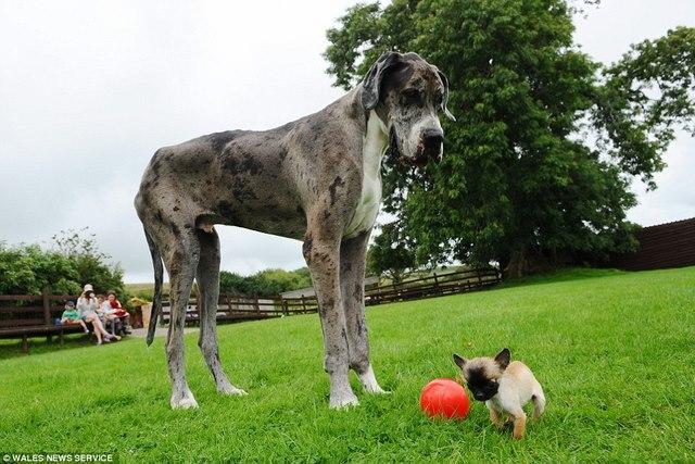 Chú chó cao nhất thế giới gặp chú chó bé nhất nước Anh - 1