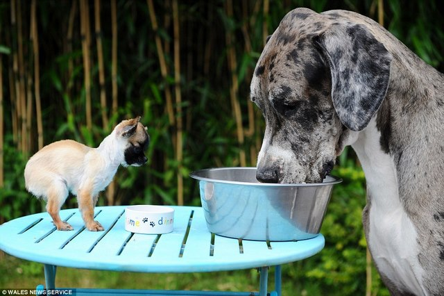 Chú chó cao nhất thế giới gặp chú chó bé nhất nước Anh - 2