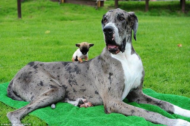Chú chó cao nhất thế giới gặp chú chó bé nhất nước Anh - 3