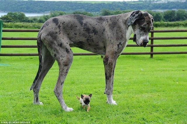 Chú chó cao nhất thế giới gặp chú chó bé nhất nước Anh - 4